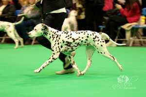 CRUFTS 2019, Birmingham (UK)